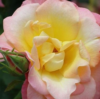 Alte Rosenmärchen