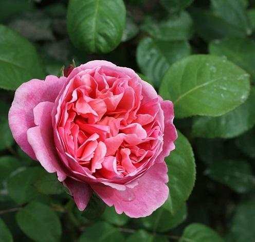 Rosenmärchen Rose